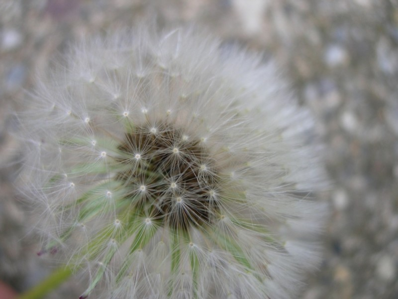 Wishing on a flower