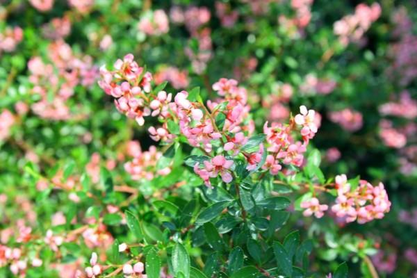 Small pik flowers
