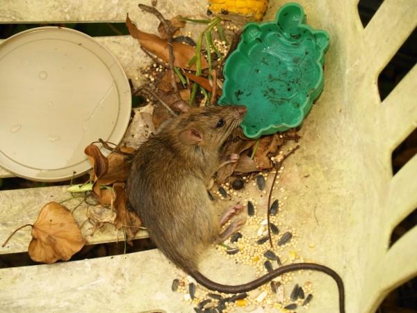 Small brown wild rat