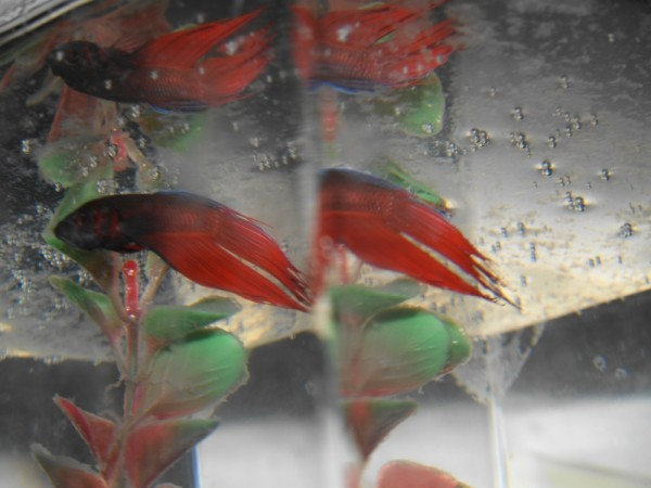 Betta fish and reflections