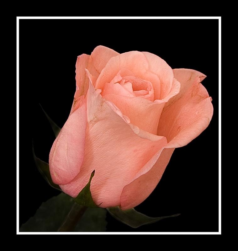 Rosa madura