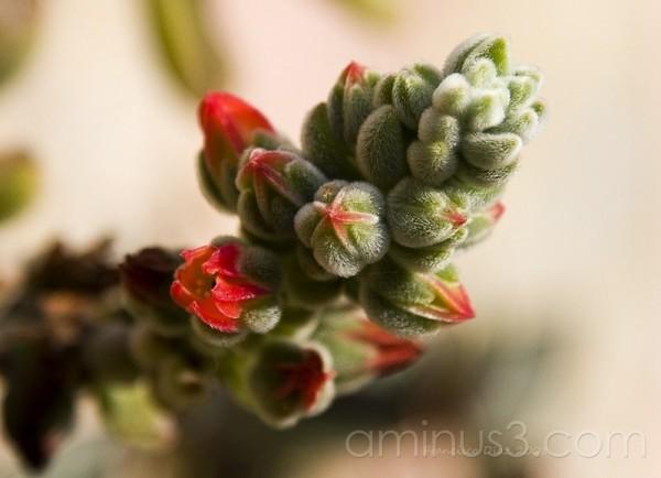 Castus. Flores a punto de abrirs