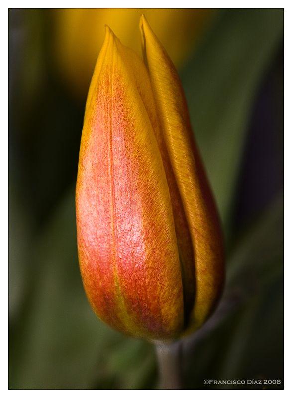 Un tulipán