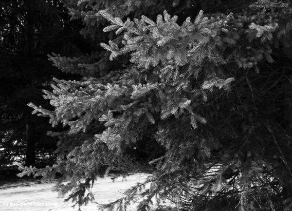 La rama nevada