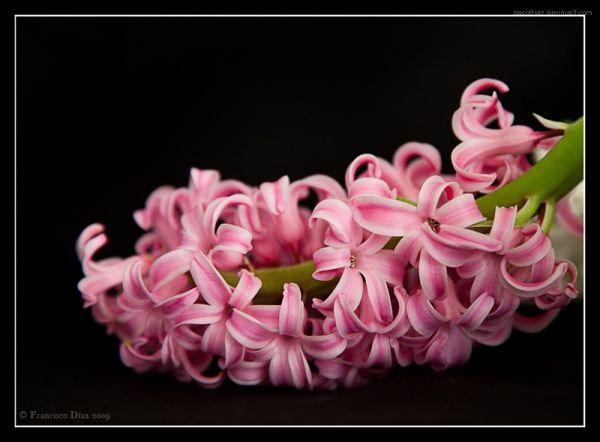 Jacinto rosa