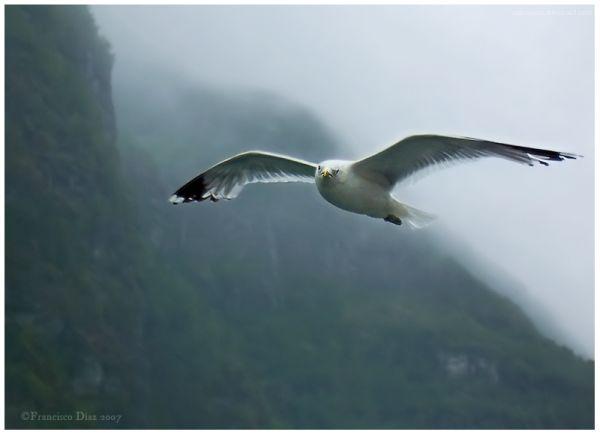 Gaviota en el fiordo