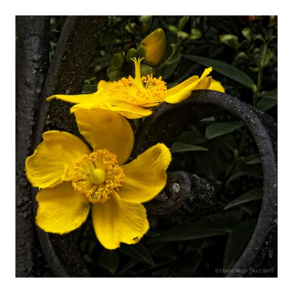 Domingo: flor