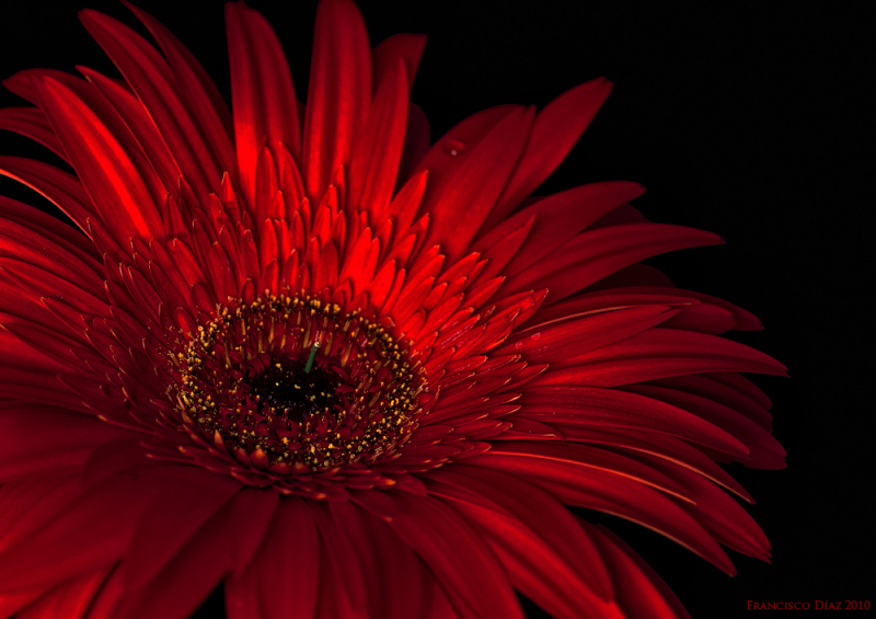 Gerbera - Plant & Nature Photos - FranciscoDiazPhotoblog