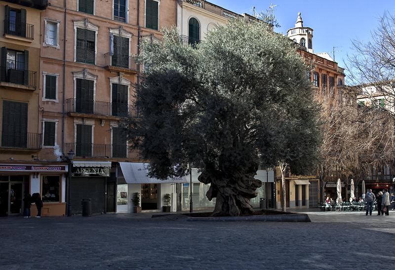 El olivo de Cort