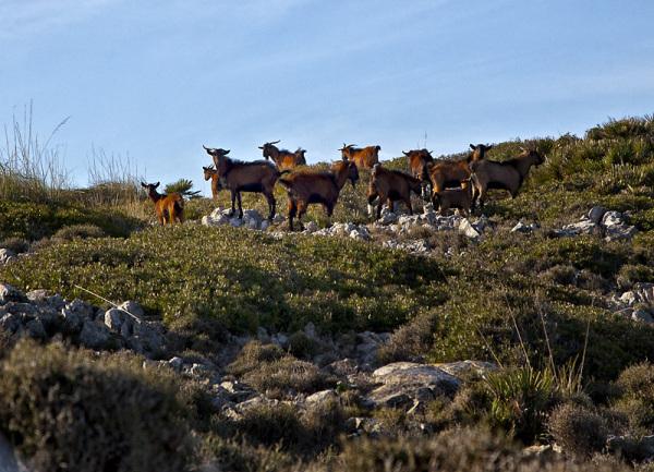 Unas cabras
