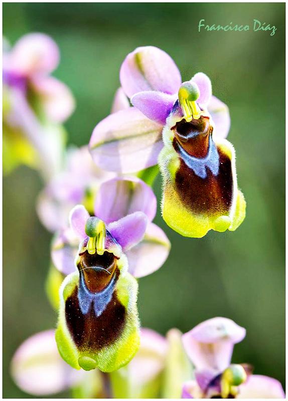 Orquídeas salvajes