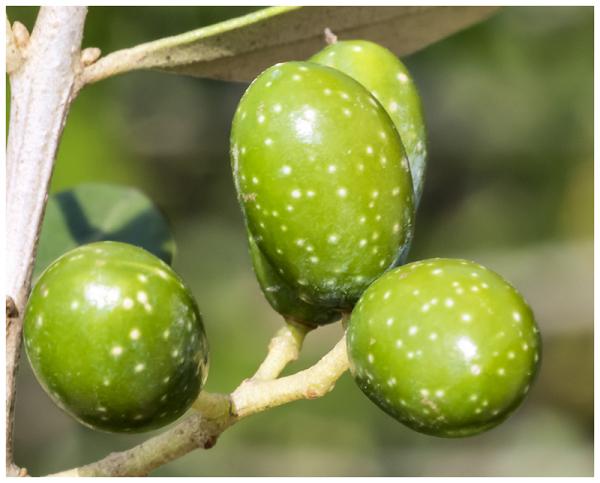 Olivillas