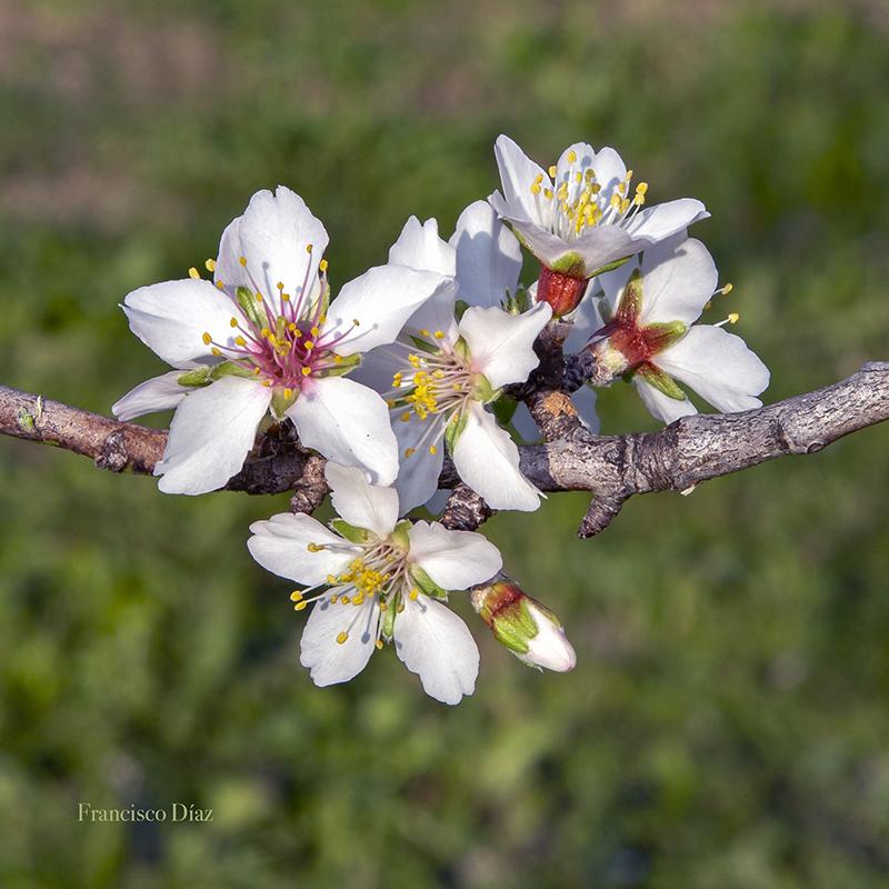 Flores de almendro