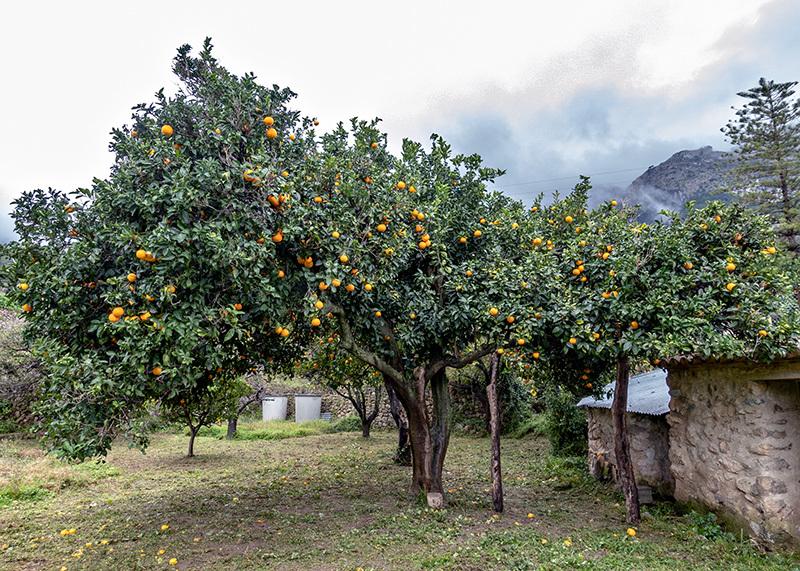 El naranjo