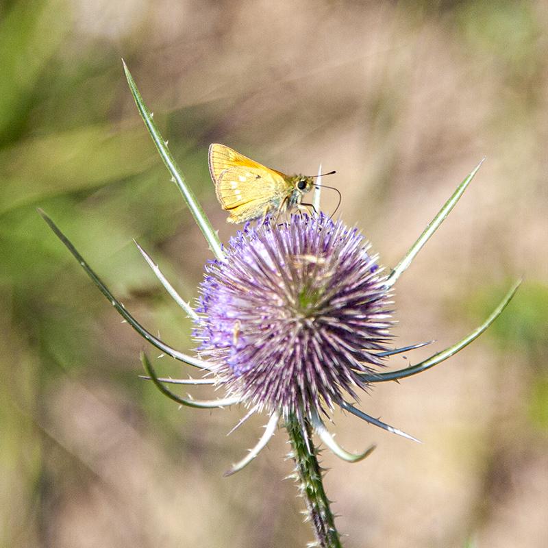 Cardo y mariposa