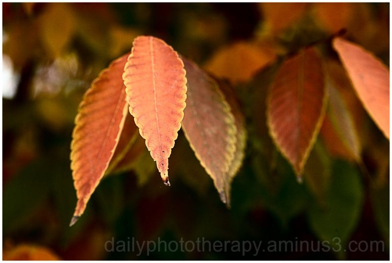 Autumn Leaves in King City California