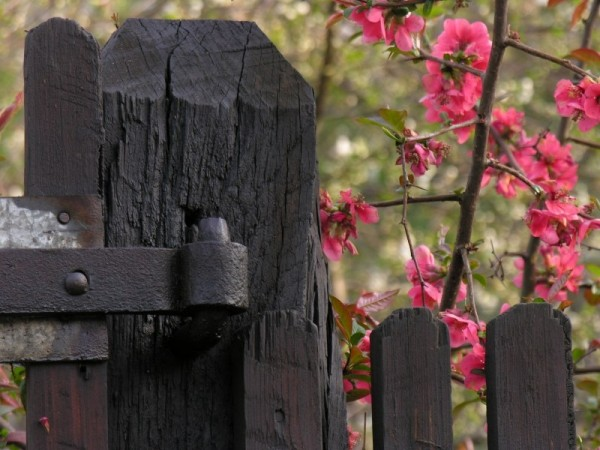 Black wood fence in spring