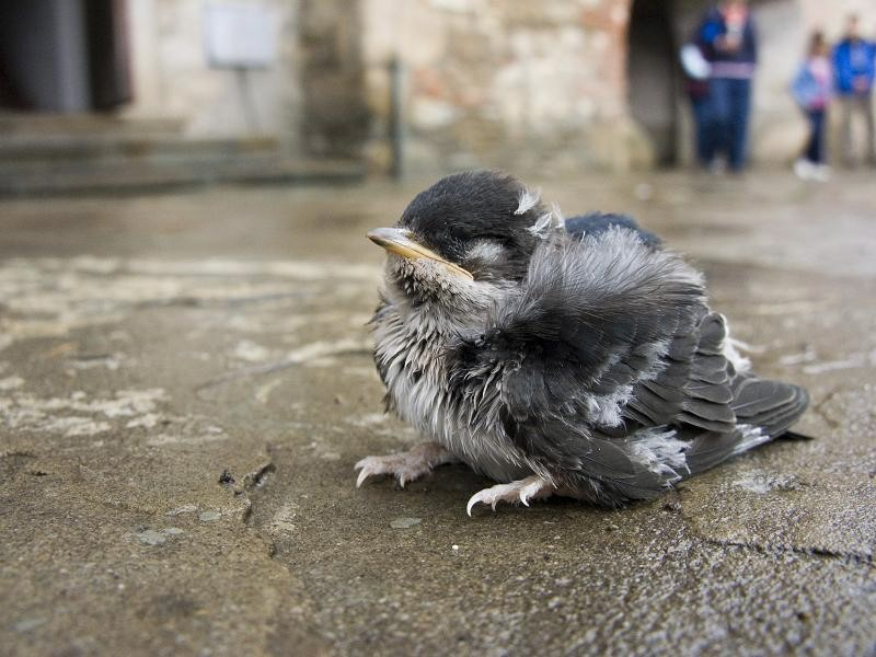 An abandoned bird cub