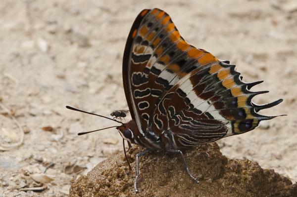 La papallona i la mosca