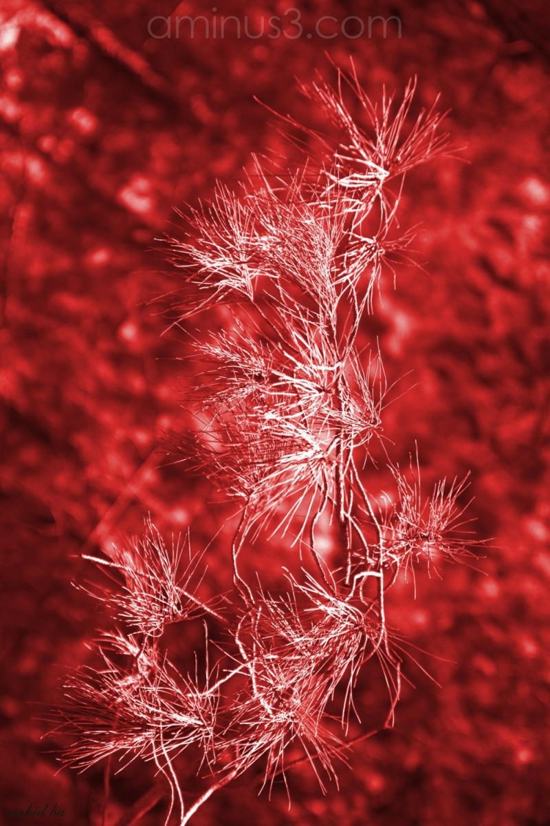 سرخ است