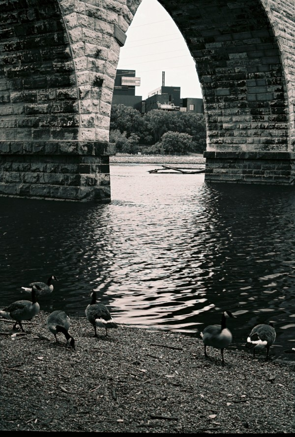 geese with stone arch bridge in the background