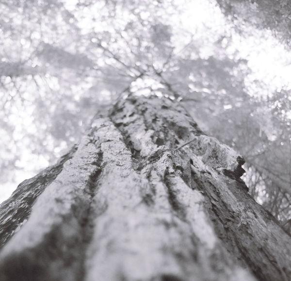 redwood tree in muir wood