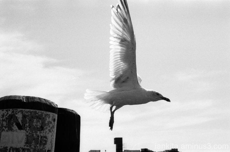 Seagull on Beard Street pier