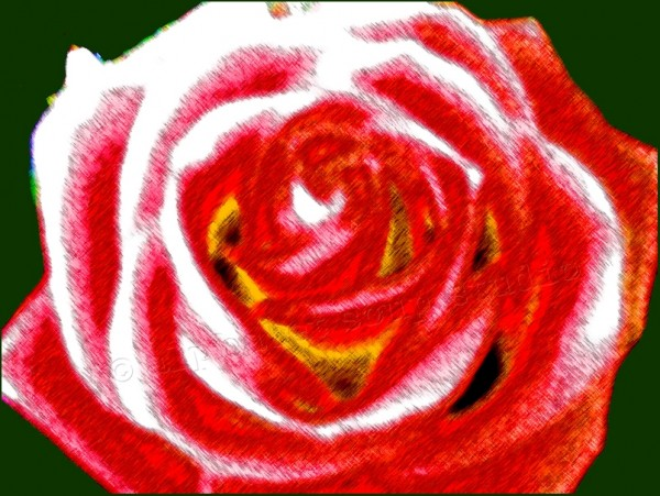 rose photograph altered muchly with photoshop