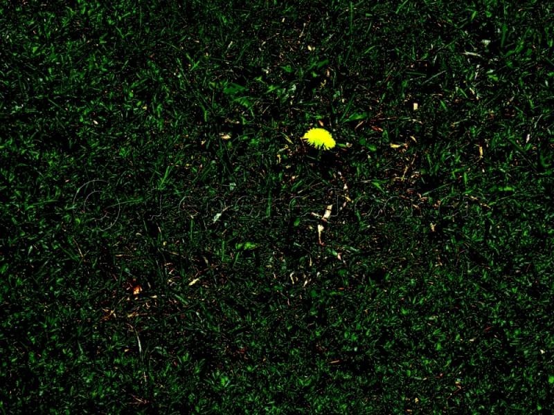 lone dandelion on Redpath Ave in Toronto
