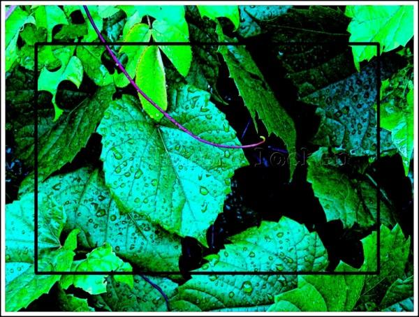 grapevine leaves after a rainstorm