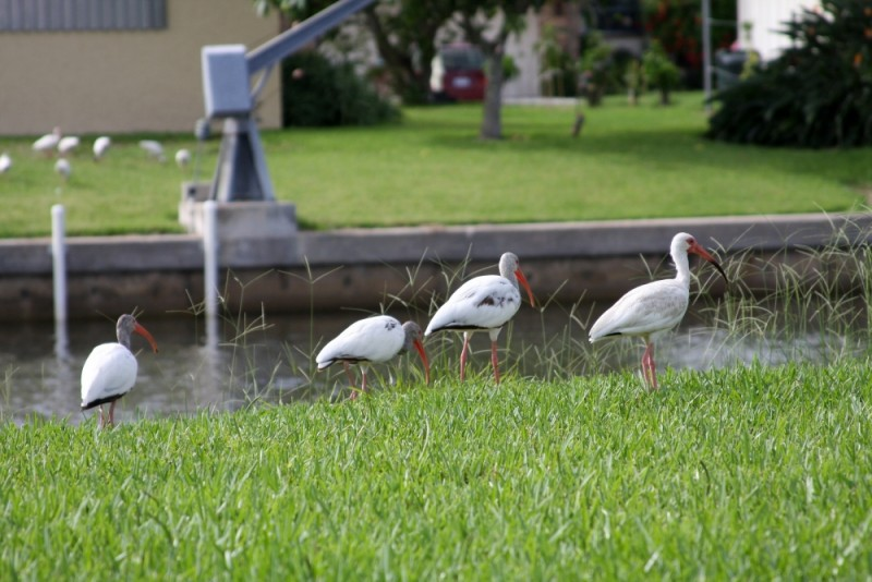Birds on the Lawn