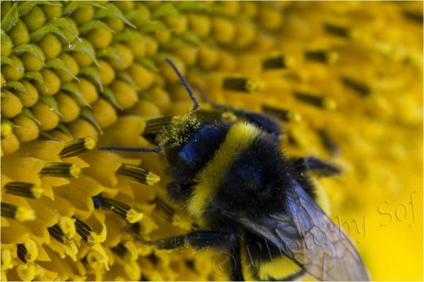 couvert de pollen