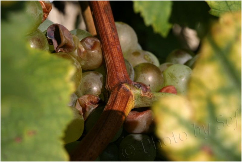 le raisin est mûr...
