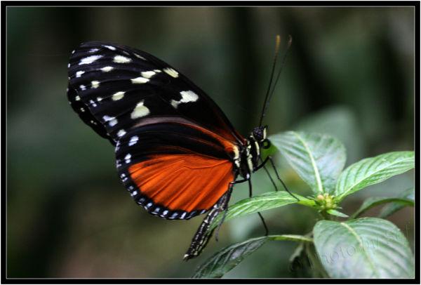 Encore un papillon