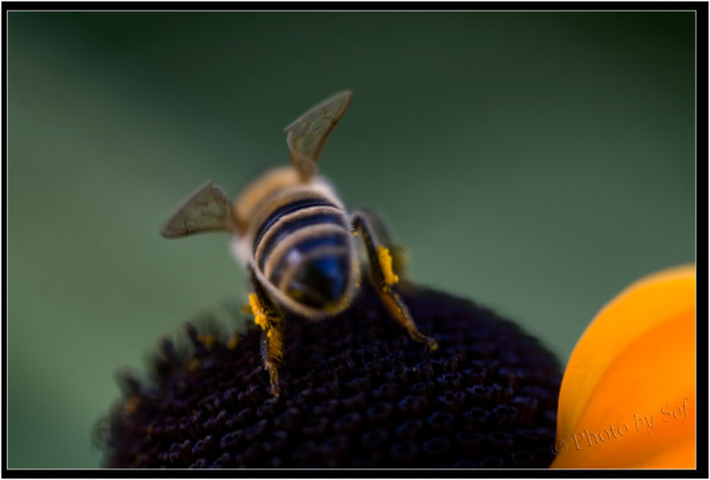 Un peu de pollen...