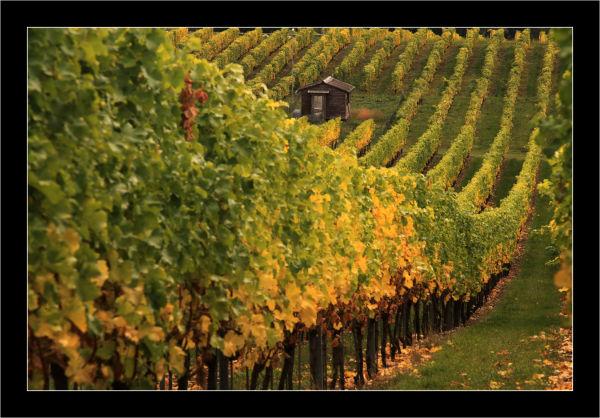 vignes, automne