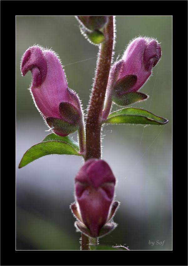 Jolies fleurs poilues