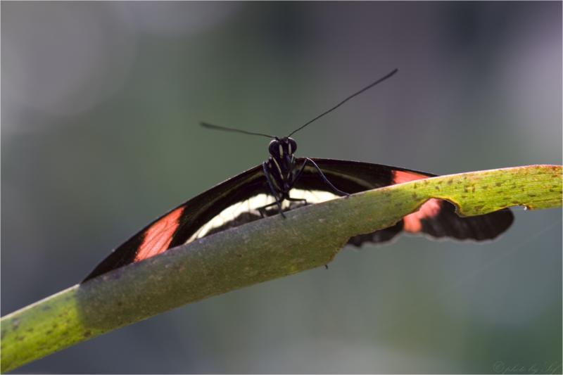 papillorama