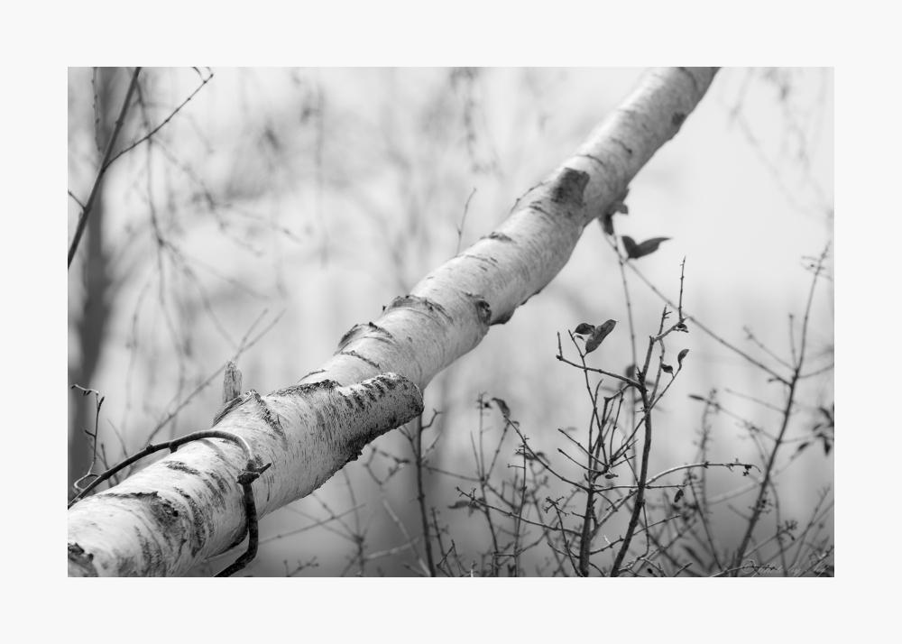la branche du bouleau plant nature photos photos by sof. Black Bedroom Furniture Sets. Home Design Ideas