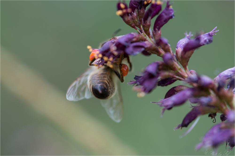 maro abeille
