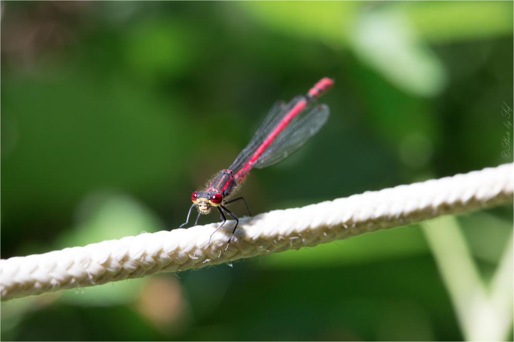 macro libelluele