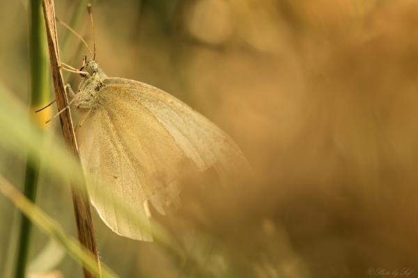 macro,papillon