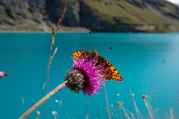Papillon à Moiry