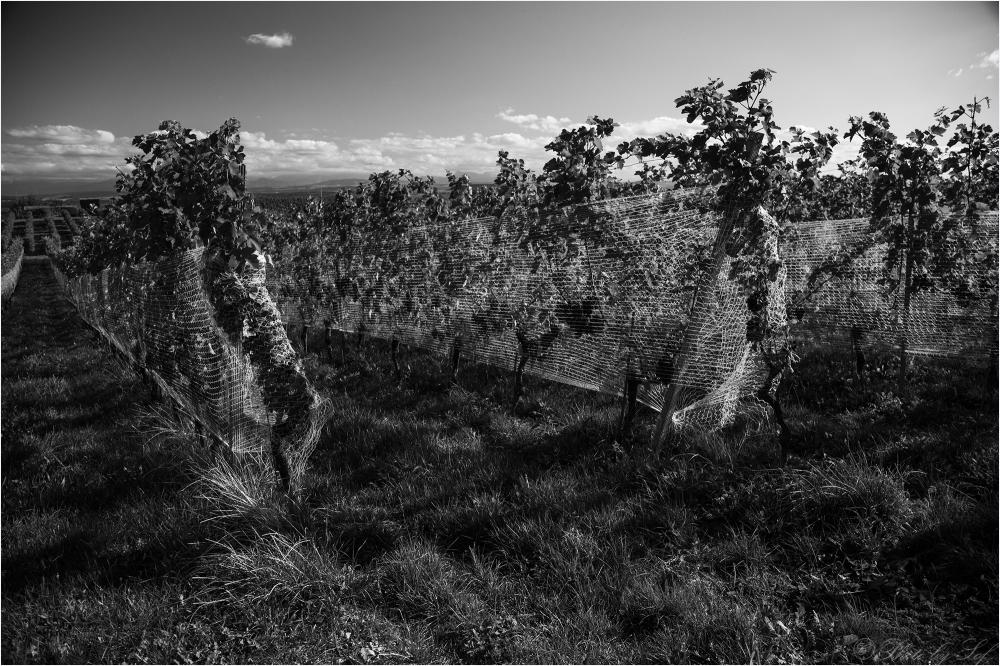 Les filets des vigne (fin)