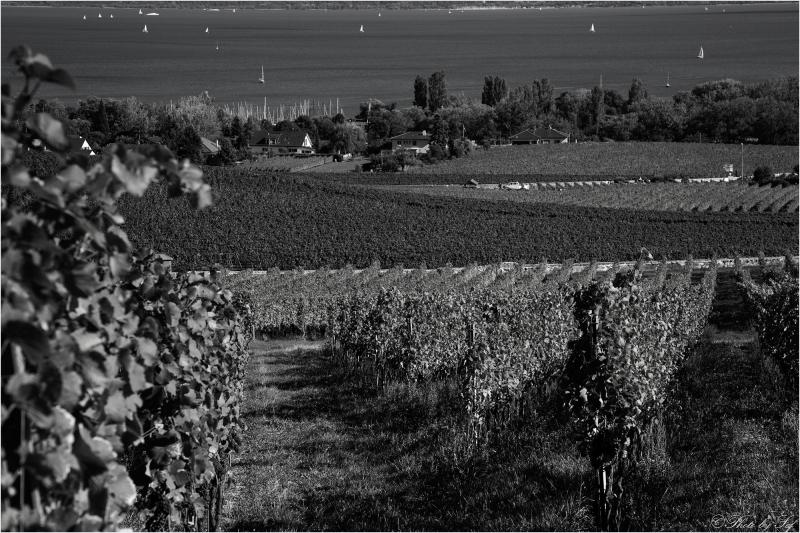 Des vignes au lac