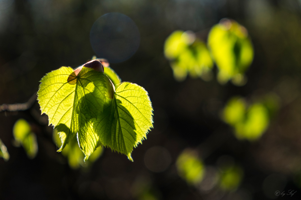 Tendres petites feuilles