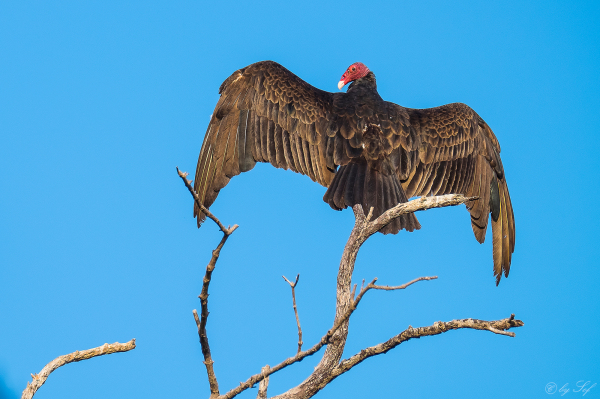 Cuba oiseau