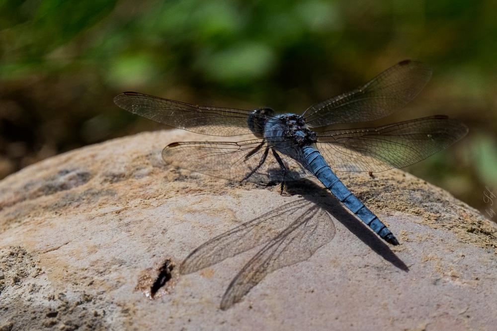 Anisoptère mâle
