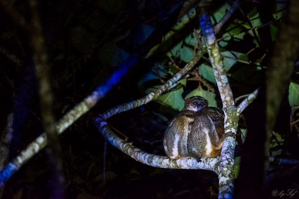 Lémuriens nocturnes