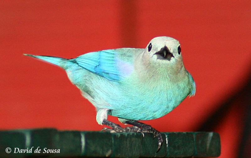 Blue Grey Tanager Posing